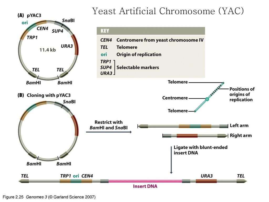Yeast Artificial Chromosome (YAC)