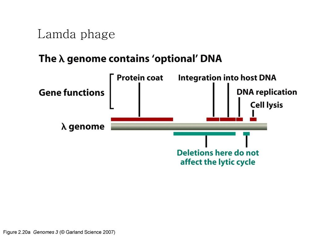 Lamda phage Figure 2.20a Genomes 3 (© Garland Science 2007)
