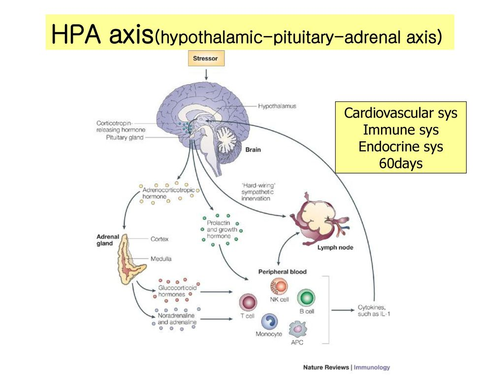 HPA-axis HPA axis(hypothalamic-pituitary-adrenal axis)