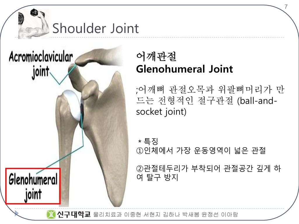 Shoulder Joint 어깨관절 Glenohumeral Joint