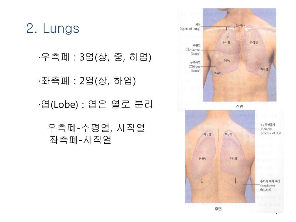 2. Lungs ·좌측폐 : 2엽(상, 하엽) ·엽(Lobe) : 엽은 열로 분리 우측폐-수평열, 사직열 좌측폐-사직열