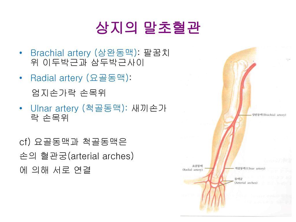 상지의 말초혈관 Brachial artery (상완동맥): 팔꿈치위 이두박근과 삼두박근사이