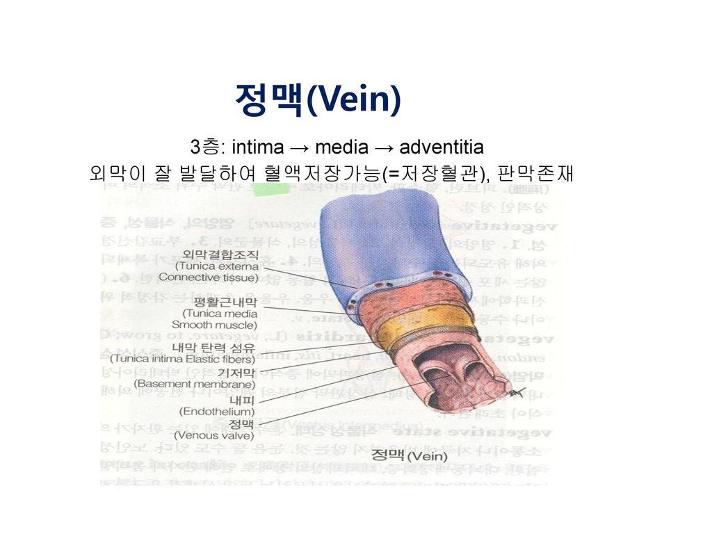 정맥(Vein) 3층: intima → media → adventitia 외막이 잘 발달하여 혈액저장가능(=저장혈관), 판막존재
