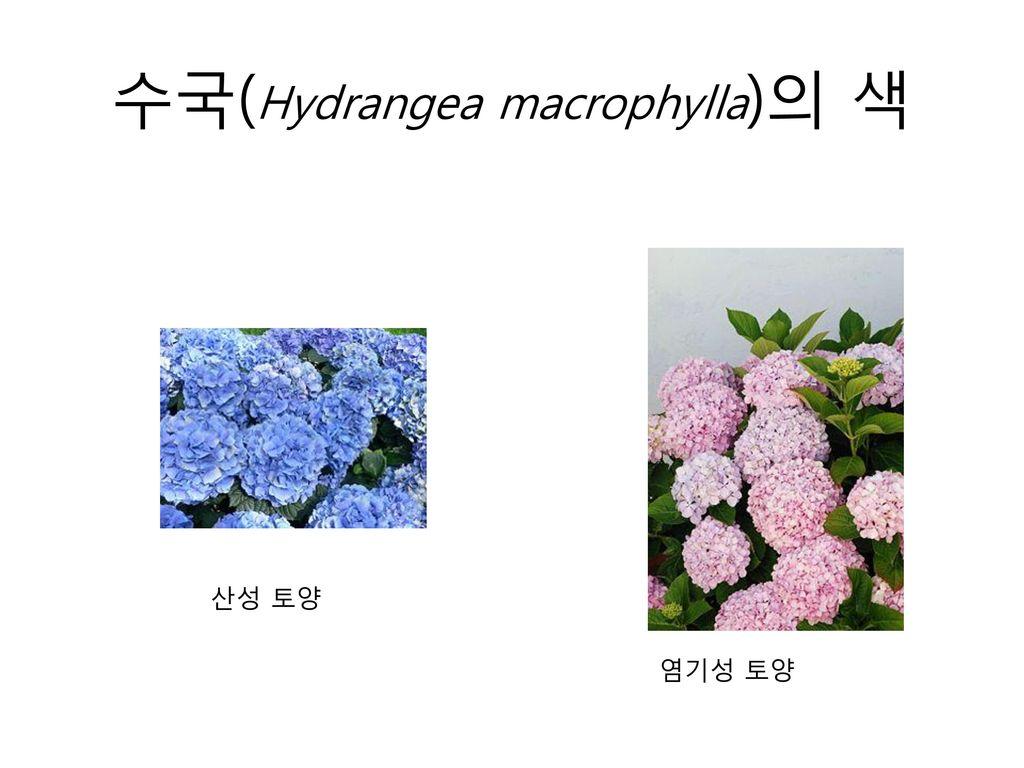 수국(Hydrangea macrophylla)의 색