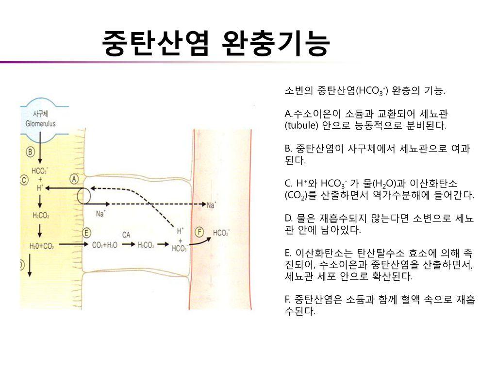 중탄산염 완충기능 소변의 중탄산염(HCO3-) 완충의 기능.