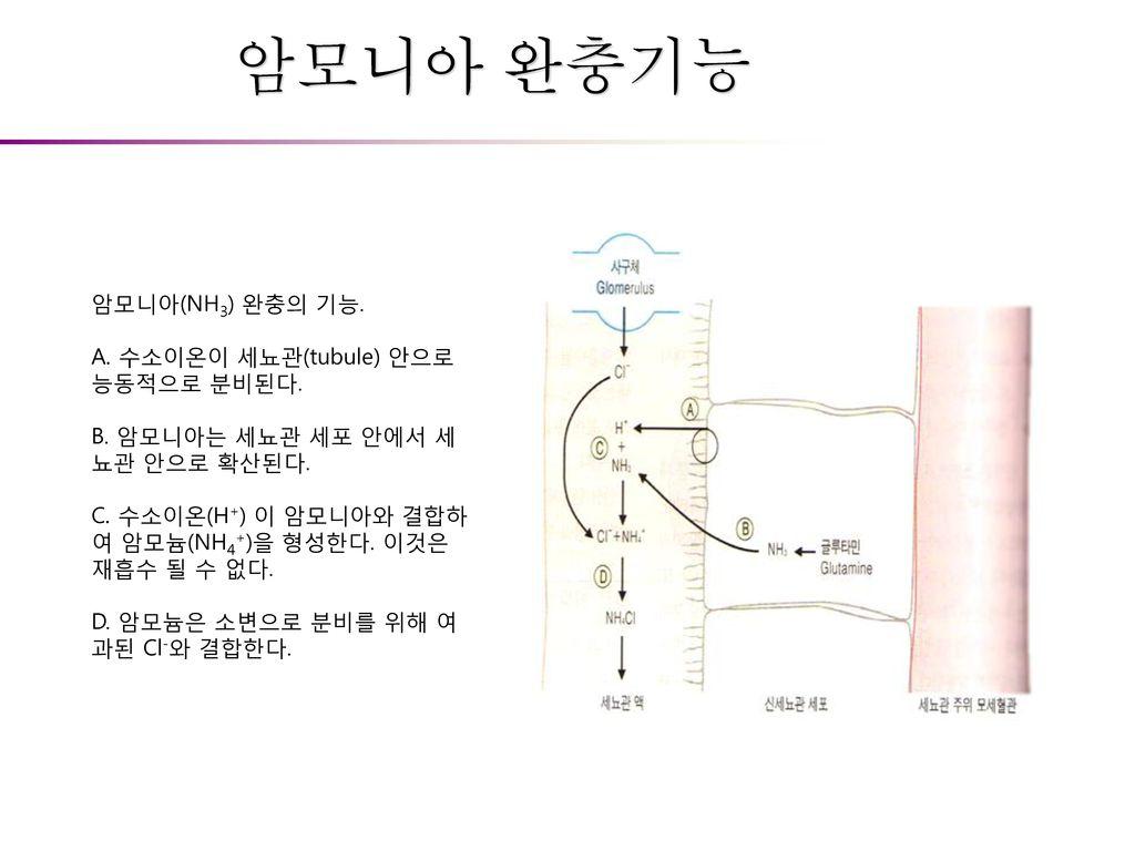암모니아 완충기능 암모니아(NH3) 완충의 기능. A. 수소이온이 세뇨관(tubule) 안으로 능동적으로 분비된다.