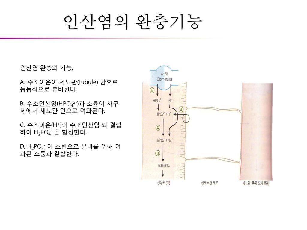 인산염의 완충기능 인산염 완충의 기능. A. 수소이온이 세뇨관(tubule) 안으로 능동적으로 분비된다.