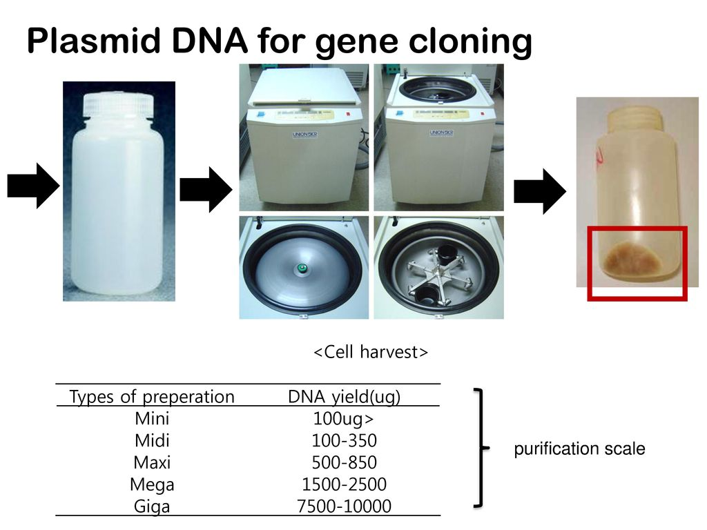 Plasmid DNA for gene cloning