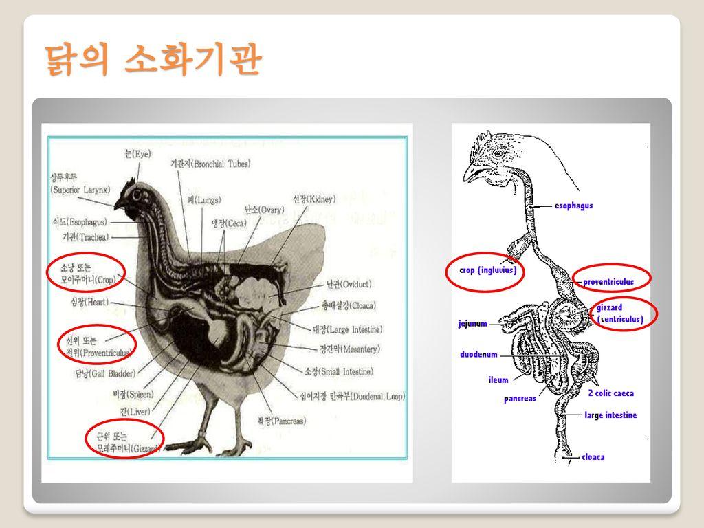 닭의 소화기관