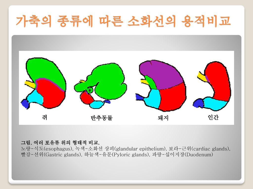 가축의 종류에 따른 소화선의 용적비교 쥐 반추동물 돼지 인간 그림. 여러 포유류 위의 형태적 비교.