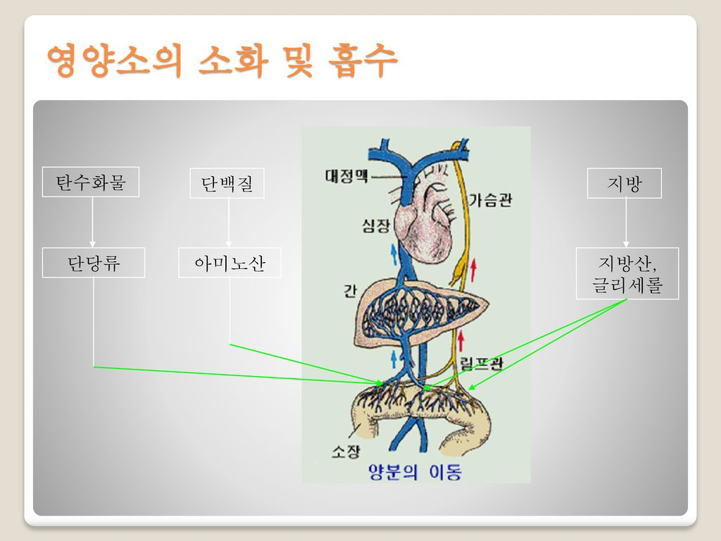 영양소의 소화 및 흡수 지방 지방산, 글리세롤 탄수화물 단당류 단백질 아미노산