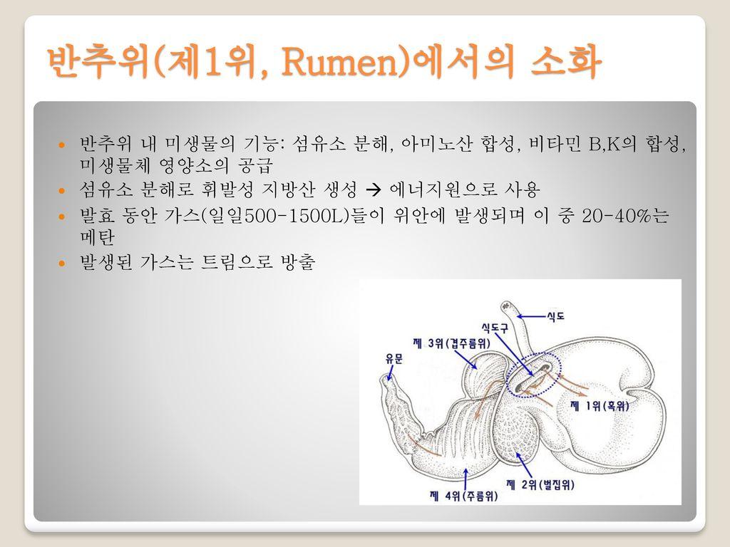 반추위(제1위, Rumen)에서의 소화 반추위 내 미생물의 기능: 섬유소 분해, 아미노산 합성, 비타민 B,K의 합성, 미생물체 영양소의 공급. 섬유소 분해로 휘발성 지방산 생성  에너지원으로 사용.