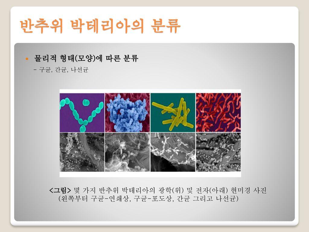 반추위 박테리아의 분류 물리적 형태(모양)에 따른 분류
