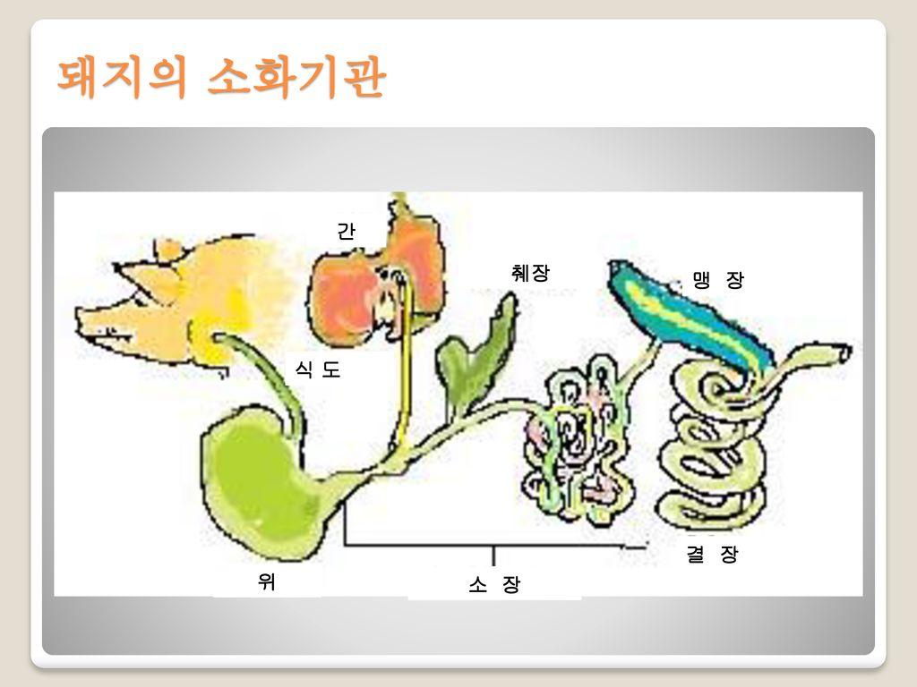 돼지의 소화기관 간 식 도 위 소 장 췌장 맹 장 결 장
