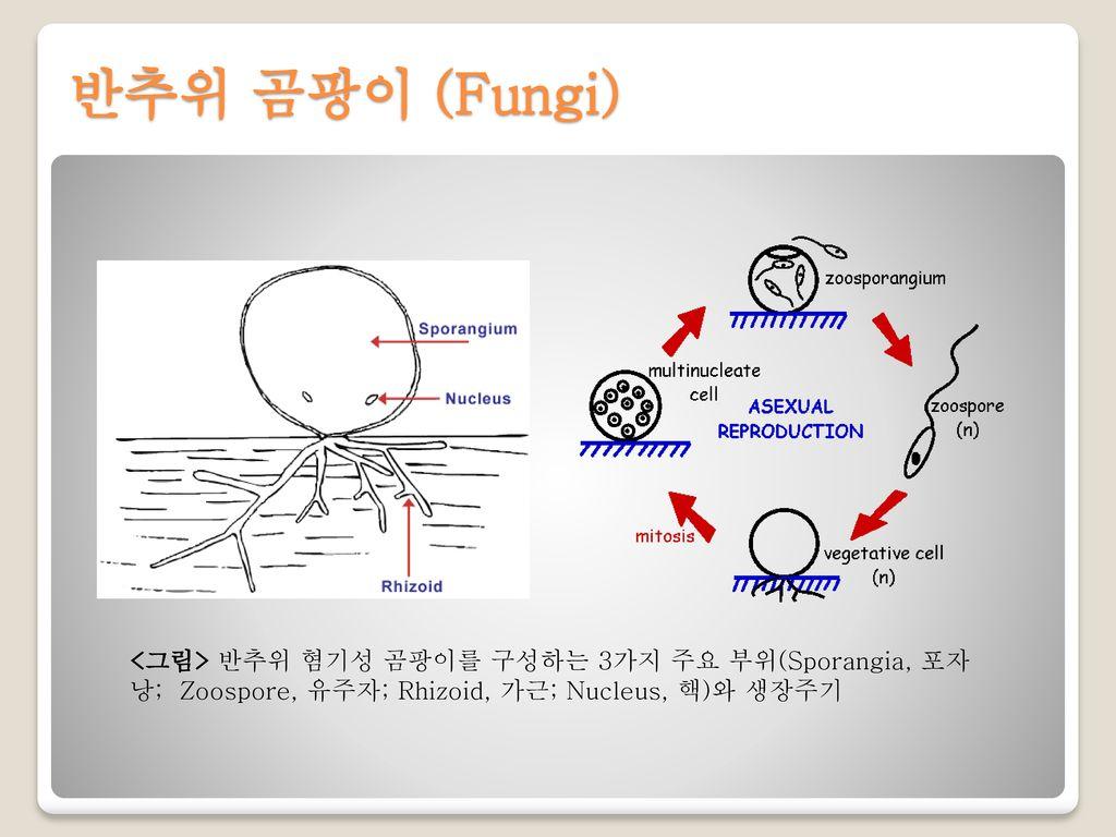반추위 곰팡이 (Fungi) <그림> 반추위 혐기성 곰팡이를 구성하는 3가지 주요 부위(Sporangia, 포자낭; Zoospore, 유주자; Rhizoid, 가근; Nucleus, 핵)와 생장주기.
