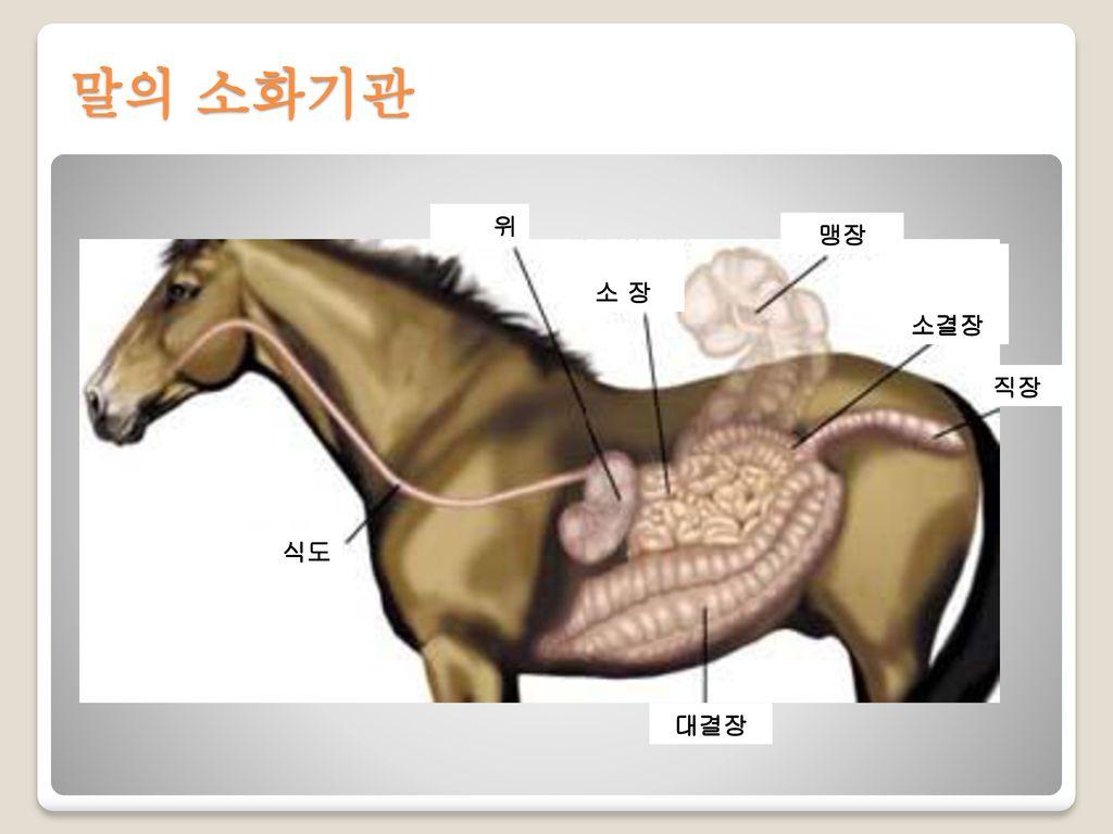 말의 소화기관 식도 위 소 장 대결장 소결장 맹장 직장