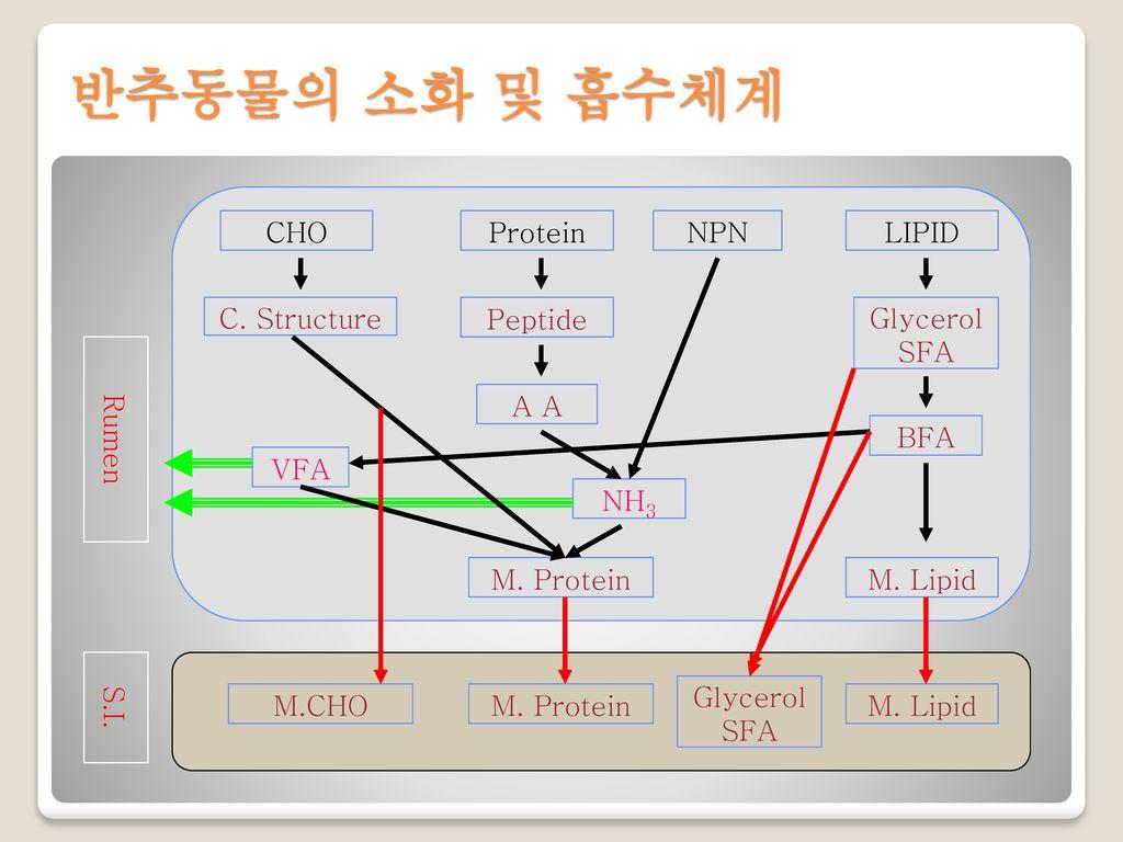 반추동물의 소화 및 흡수체계 CHO Protein NPN LIPID VFA Glycerol SFA M. Lipid