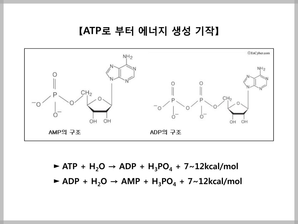 【ATP로 부터 에너지 생성 기작】 ► ATP + H2O → ADP + H3PO4 + 7~12kcal/mol