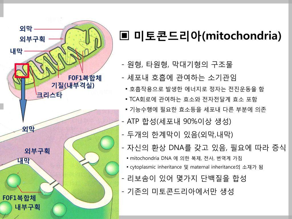 ▣ 미토콘드리아(mitochondria)