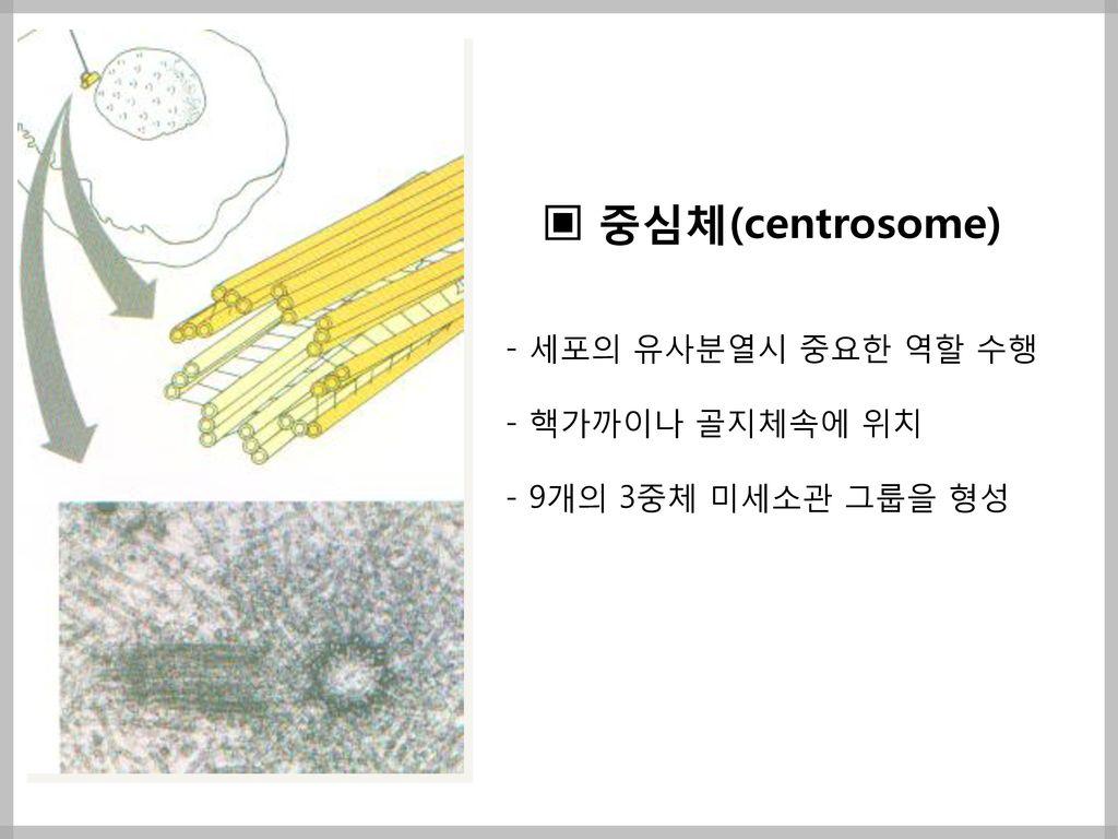 ▣ 중심체(centrosome) - 세포의 유사분열시 중요한 역할 수행 - 핵가까이나 골지체속에 위치