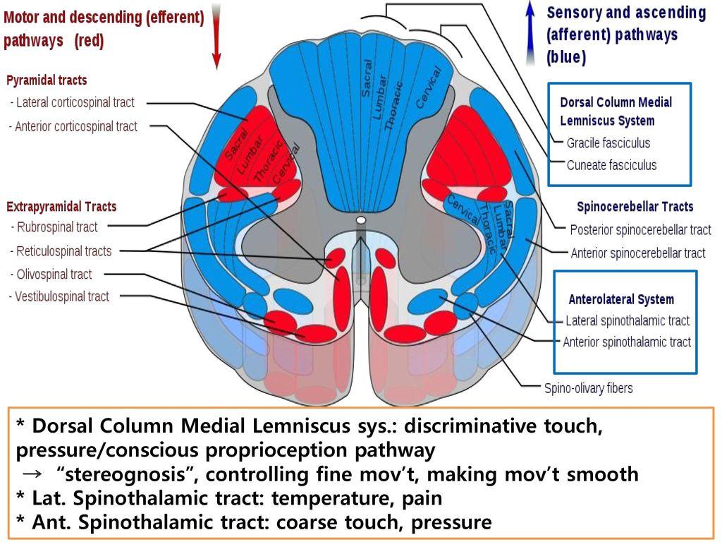 Dorsal Column Medial Lemniscus sys
