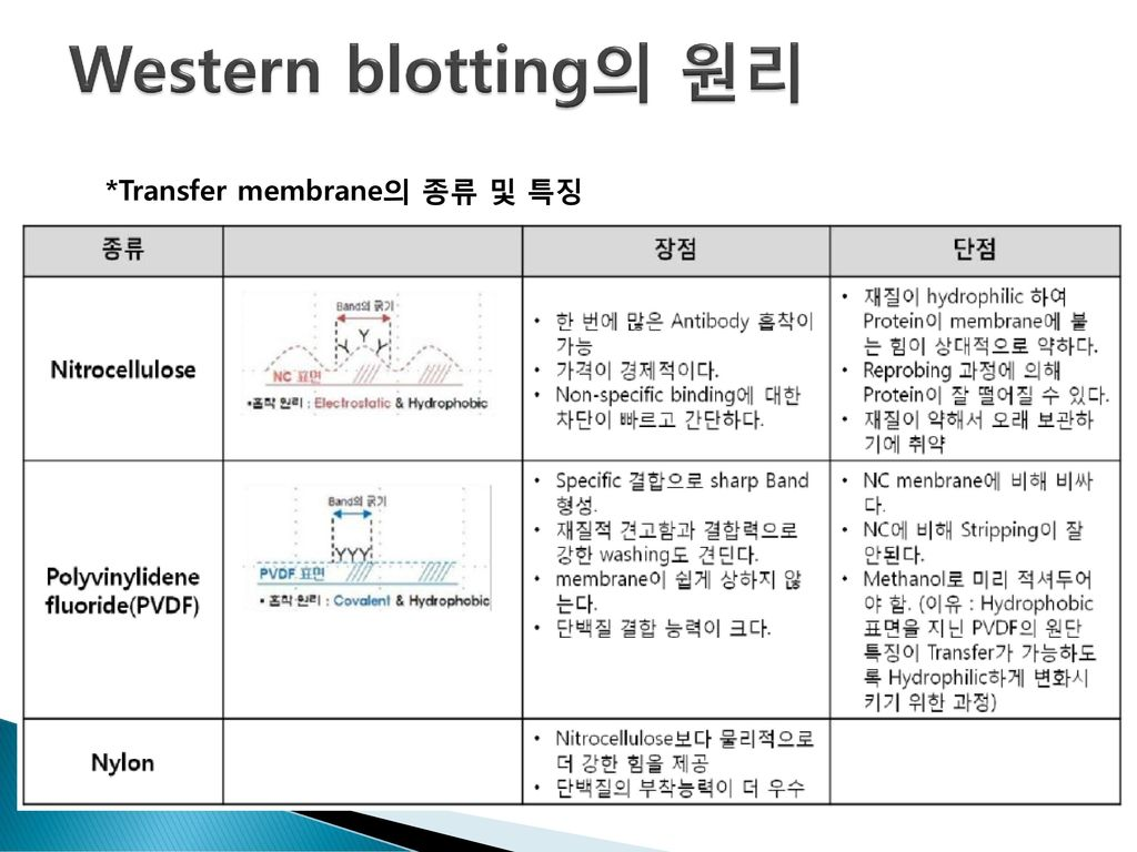 9장 Western Blot Analysis Using His Tag Antibody Ppt