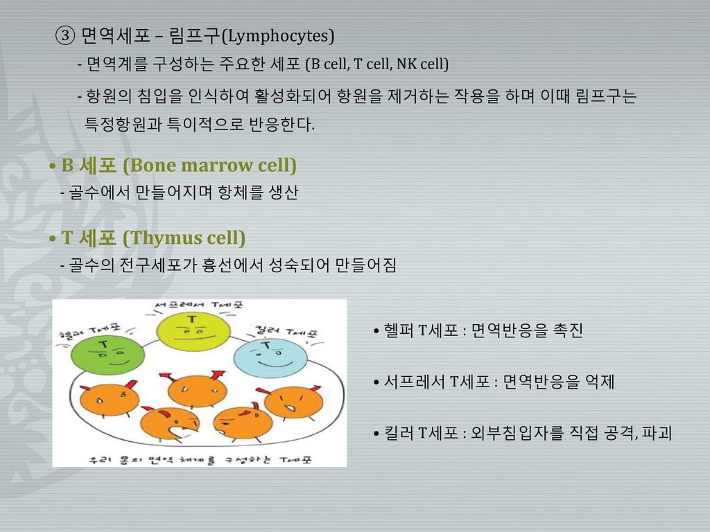 • B 세포 (Bone marrow cell)