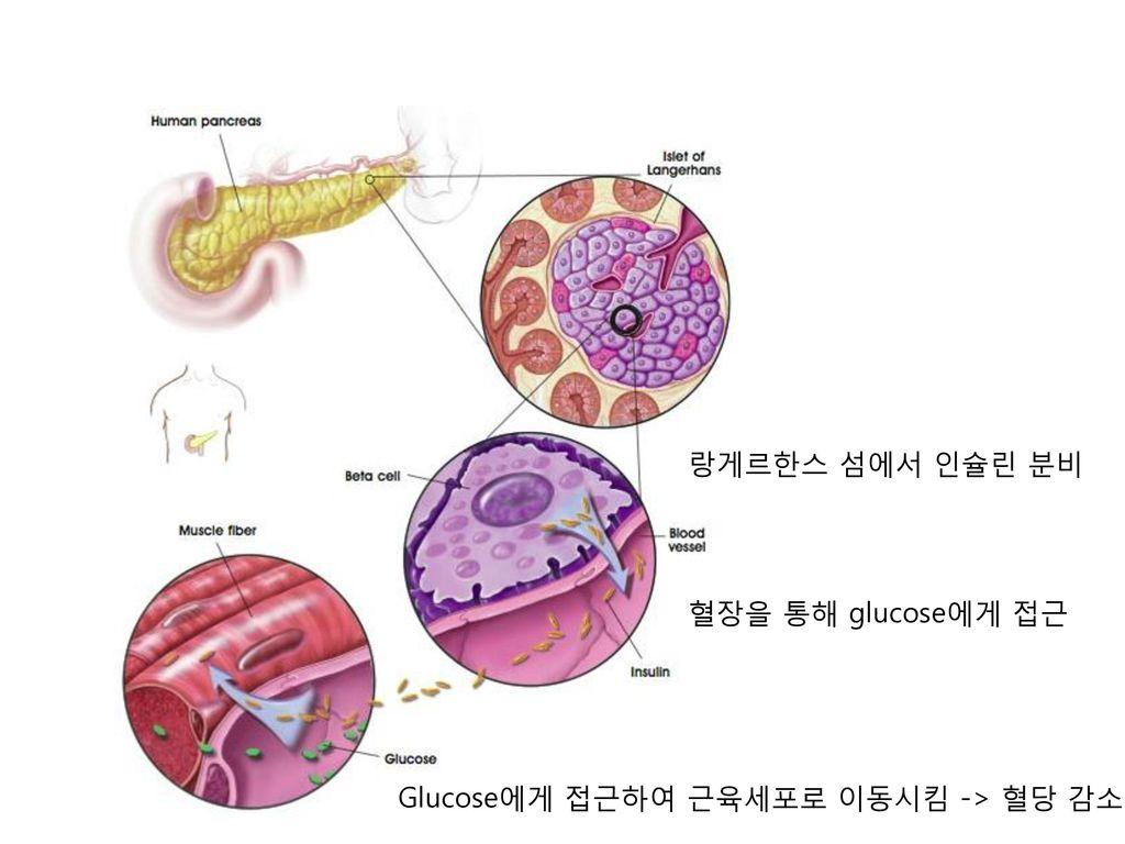 랑게르한스 섬에서 인슐린 분비 혈장을 통해 glucose에게 접근 Glucose에게 접근하여 근육세포로 이동시킴 -> 혈당 감소