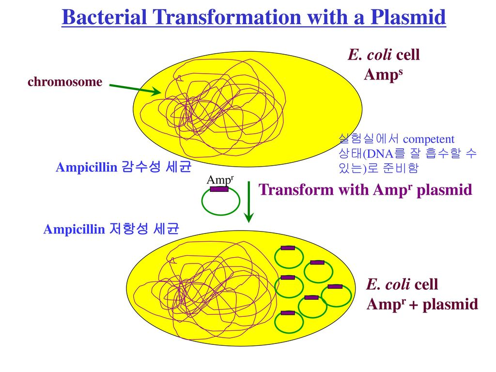 Bacterial Transformation with a Plasmid