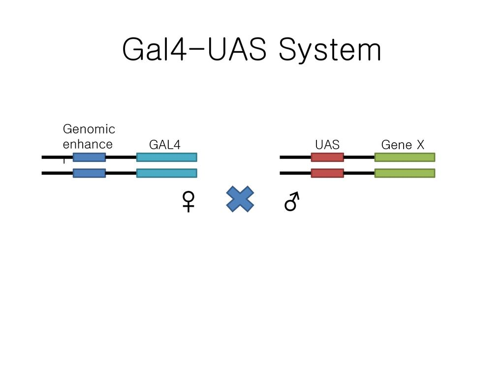 Gal4-UAS System Genomic enhancer GAL4 UAS Gene X ♀ ♂