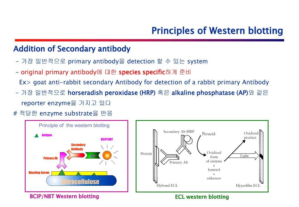 Western Blot Analysis Using His Tag Antibody Ppt Download